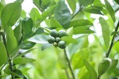 La chaux est un fruit qui s'est développé dans le pays images libres de droits