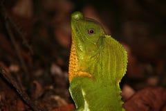 La chepa sospechó el lagarto Fotos de archivo libres de regalías