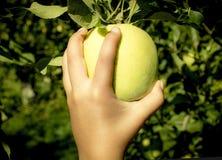 La chica joven/las hembras da en una manzana Cosecha de Apple fotos de archivo