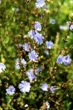 La chicorée fleurit le contexte vert de feuille Image libre de droits