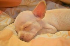 La chihuahua blanca que pone en el dueño de la cama fotografía de archivo