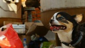La chihuahua cammina il mercato delle pulci stock footage