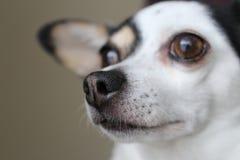 La chihuahua contemplativa busca un nuevo amanecer fotos de archivo libres de regalías