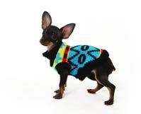 La chihuahua divertida del perrito presenta en un fondo blanco Fotos de archivo