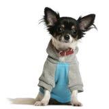 La chihuahua si è vestita in hoodi della maglietta felpata immagini stock