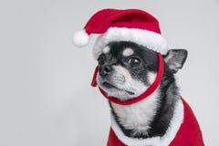 La chihuahua sveglia si è vestita in costume di Natale sopra fondo bianco Fotografie Stock
