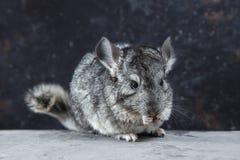 La chinchilla gris es que le sienta y de mirada Animal lindo y animal doméstico adorable Criatura mullida que le ama fotografía de archivo