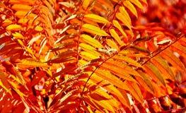 La chute a coloré des feuilles de sumac de staghorn Photo libre de droits