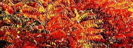 La chute a coloré des feuilles de sumac de staghorn Image stock