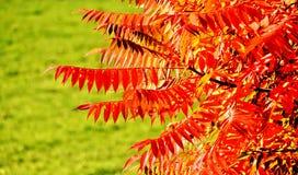 La chute a coloré des feuilles de sumac de staghorn Image libre de droits