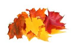 La chute d'érable a coloré des feuilles Photos libres de droits