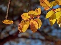 La chute d'automne a éclairé des feuilles à contre-jour se ferment sur le fond foncé images libres de droits