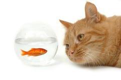 La chute de chat dans l'amour avec les poissons Photos stock