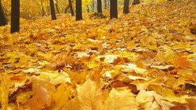 La chute de parc d'automne quitte le parc, feuillage de novembre de nature banque de vidéos