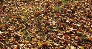 La chute et le soleil de feuilles d'automne brillant par la chute part Beau fond d'horizontal clips vidéos