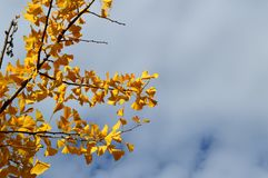 La chute laisse l'arbre de Ginko Biloba Maidenhair Images stock