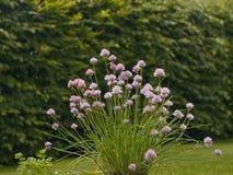 La ciboulette plante dans la boîte de fleur dans le jardin Grand et fort buisson vert de ciboulette avec les fleurs roses Image libre de droits