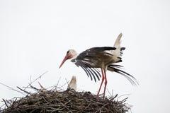La cicogna bianca adulta in un nido ha raddrizzato le piume sulle ali Fotografie Stock
