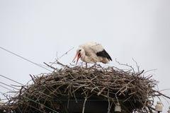 La cicogna bianca adulta in un nido prende un becco delle poppe Immagine Stock Libera da Diritti