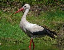 La cicogna bianca cammina attraverso l'acqua in piccolo stagno fotografia stock