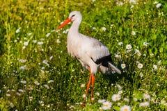La cicogna bianca (ciconia di Ciconia) Fotografia Stock Libera da Diritti