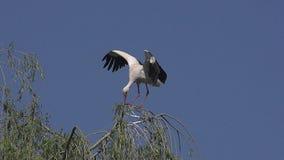 La cicogna bianca, ciconia di ciconia, sbattimento adulto traversa, l'Alsazia in Francia, archivi video