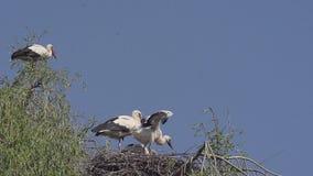 La cicogna bianca, il ciconia di ciconia, sbattimento del pulcino traversa sul nido, l'Alsazia in Francia, video d archivio