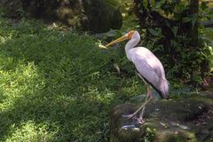 La cicogna dal becco giallo sta su una pietra contro il contesto della foresta pluviale fotografia stock