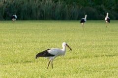 La cicogna raccoglie l'alimento in un pascolo Fotografie Stock Libere da Diritti