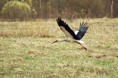 La cigüeña blanca vuela sobre el campo Imágenes de archivo libres de regalías