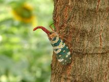 La cigale de planthoppers de Fulgorid a accroché l'arbre de longan de branche image libre de droits