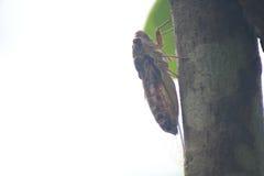 La cigale est sur un arbre Photographie stock libre de droits