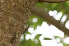 La cigale est sur un arbre Image libre de droits