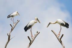 La cigogne asiatique d'openbill, grand oiseau de patauger avec l'espace entre le bea Photos libres de droits