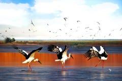 La cigogne blanche orientale Photographie stock libre de droits