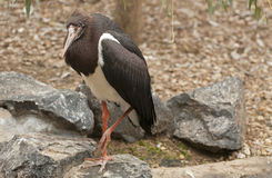 La cigogne d'Abdim (abdimii de Ciconia) Images stock