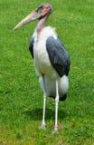 La cigogne de marabout Photographie stock