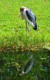 La cigogne de marabout Photo stock
