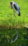 La cigogne de marabout Image libre de droits