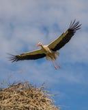 La cigogne mignonne vole majestueux au-dessus du nid Image libre de droits