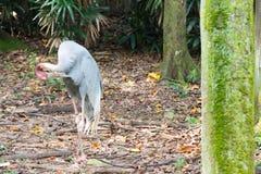 La cigogne selle-affichée est un grand oiseau de patauger dans le fami de cigogne Photographie stock libre de droits