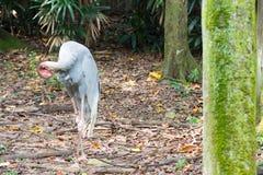 La cigogne selle-affichée est un grand oiseau de patauger dans le fami de cigogne Images stock