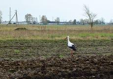 La cigogne va au printemps sur le sol labouré dans le domaine Images stock
