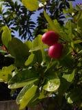 La ciliegia è dolce ma fotografia stock libera da diritti