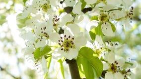 La ciliegia bianca fiorisce i fiori sul sole 2 archivi video