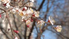 La ciliegia della primavera fiorisce, fiori bianchi e germogli stock footage