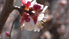 La ciliegia della primavera fiorisce, fiori bianchi e germogli video d archivio