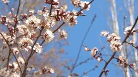 La ciliegia della primavera fiorisce, fiori bianchi e germogli archivi video