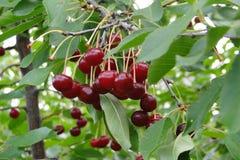 La ciliegia desiderata fotografia stock libera da diritti