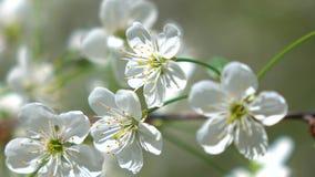 La ciliegia di fioritura fa il giardinaggio su un colpo di macro del giorno soleggiato 4K video d archivio